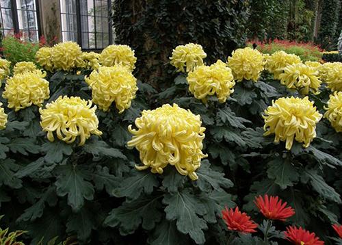 Bật mí cách trồng và chăm sóc cây hoa cúc