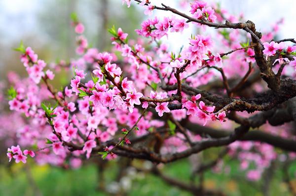 Cách chăm sóc hoa đào nở đúng Tết nguyên đán