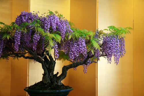 cây hoa tử đằng đẹp nhất