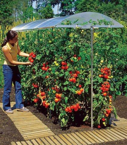 chăm sóc cây cà chua bi