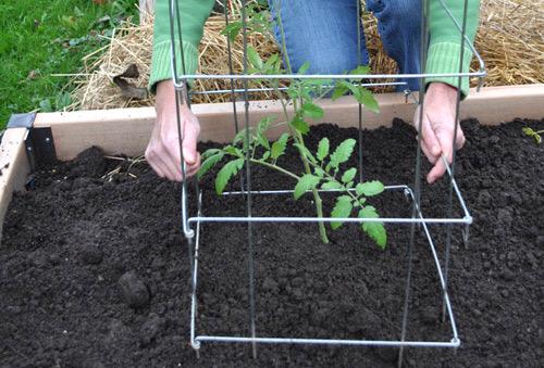 làm giàn cho cây cà chua bi