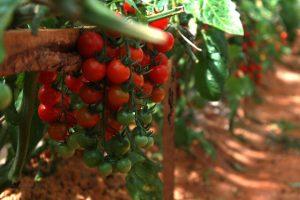 các trồng cây cà chua bi hiệu quả