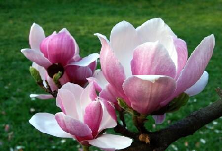 hoa mộc lan đẹp
