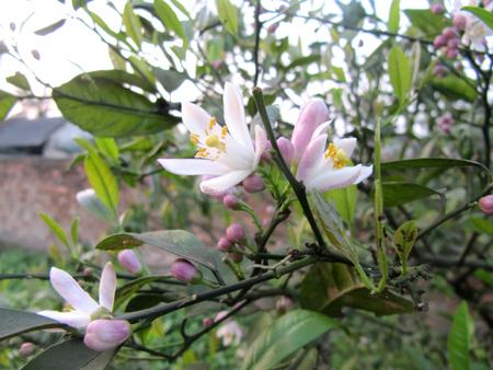 cây chanh nhiều quả
