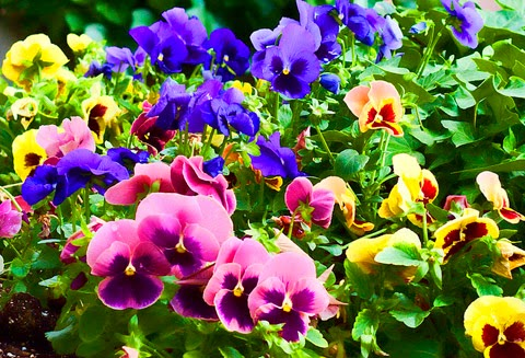 hoa xăng xê