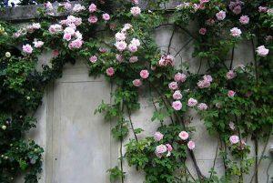 hoa hồng leo mới hiện nay