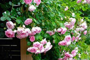 ấn tuong hoa hồng leo