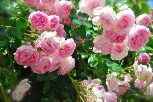 cách hoa hồng leo