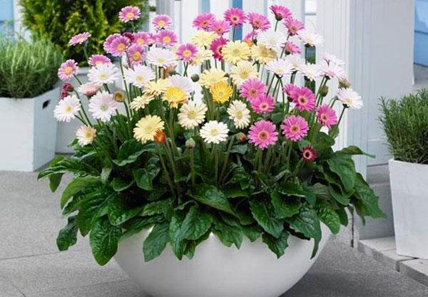 Cách trồng và chăm sóc hoa đồng tiền ra hoa đẹp