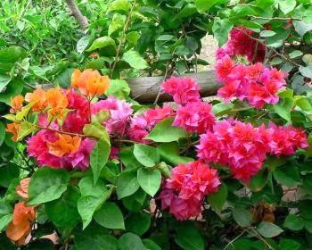 cây hoa giấy đẹp tại nhà