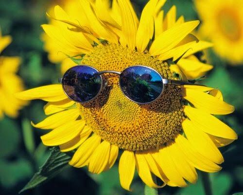 hoa hướng dương đẹp