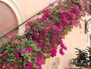 cây hoa giấy đẹp nhất nhà