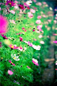 hoa cánh bướm đẹp nhất6