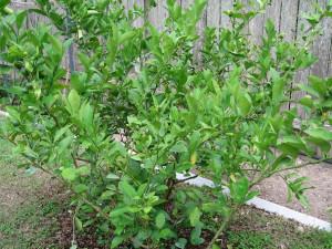 cây chanh nhiều quả trong vườn