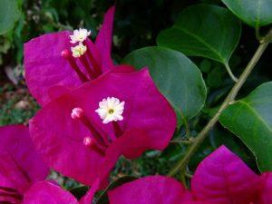 cách trồng hoa giấy đặc biệt