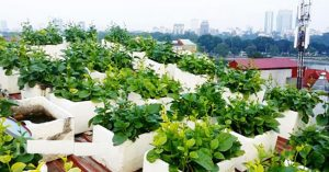 cách trồng rau sạch trên sân thượng