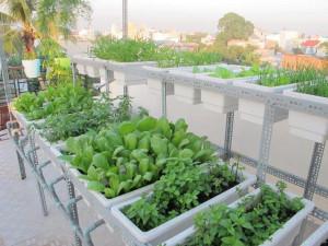 Kỹ thuật trồng rau sạch trong chậu xốp tại nhà