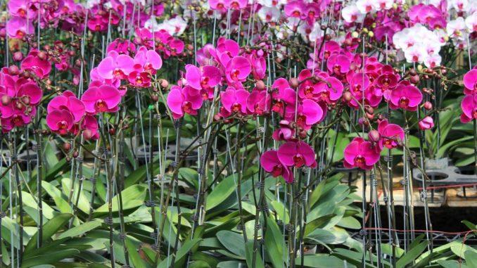 Kỹ thuật trồng cây lan hồ điệp