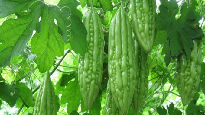 Kỹ thuật trồng và chăm sóc cây khổ qua