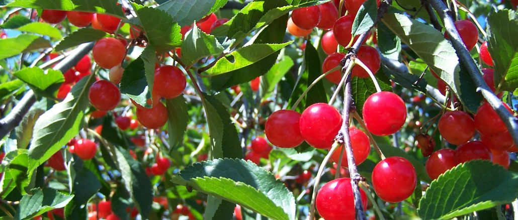cay-cherry-4