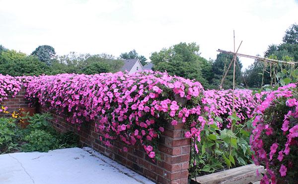 Tiết lộ Bí mật cách trồng và chăm sóc hoa dạ yến thảo