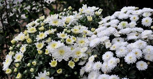 hoa cuc 3