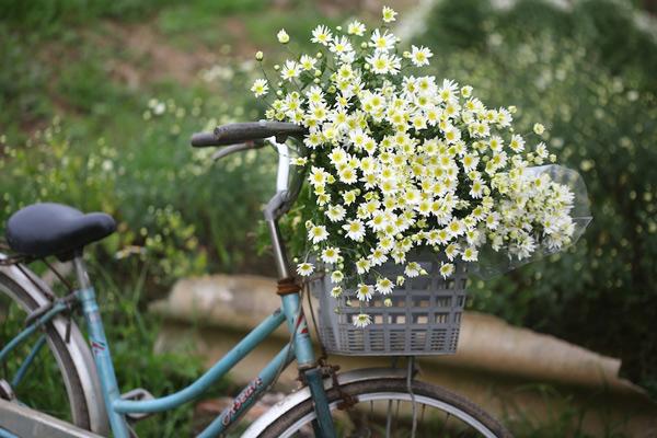 cuc hoa mi 3