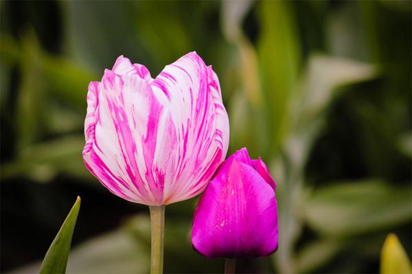 Tìm hiểu về cách trồng và chăm sóc hoa tulip