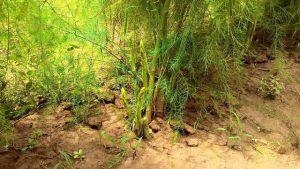 cây măng tây